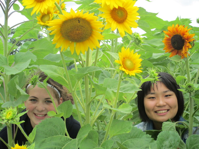 Kansas Girl and Japanese Girl Among Sunflowers